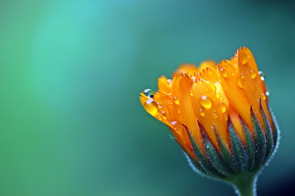 marigold-raindrop